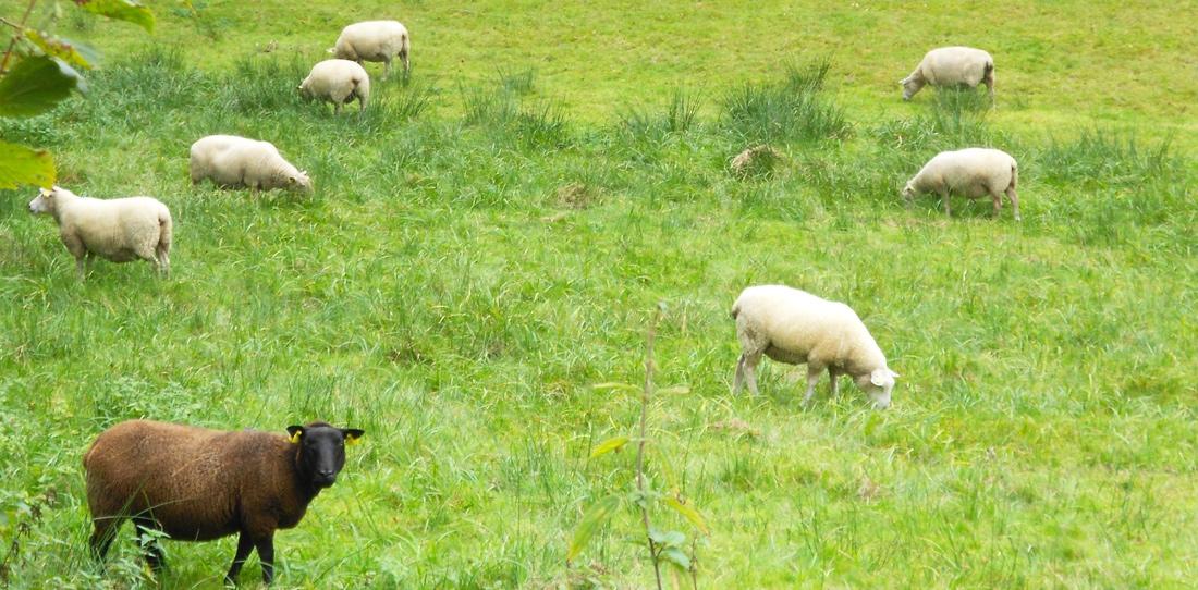 La laine de mouton, matière première vivante de la tapisserie