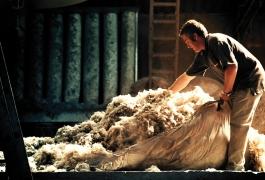 Lavage des toisons de laine